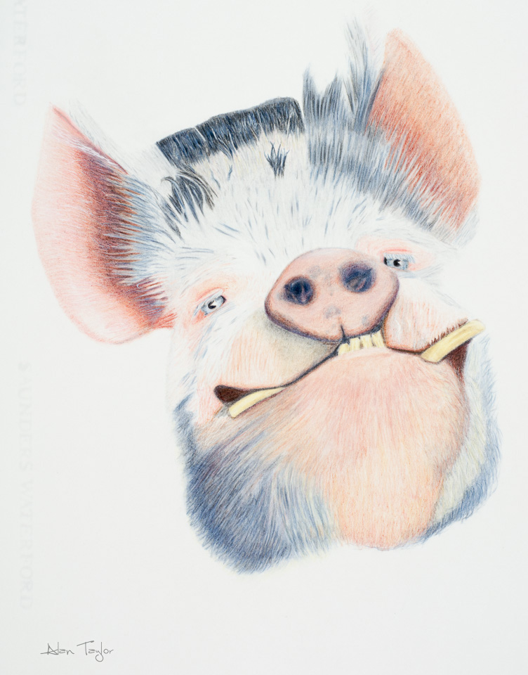 """Happy as....."" Kunekune Pig colour pencil drawing by Alan Taylor Art"