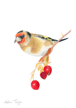 Goldfinch colour pencil drawing by Alan Taylor Art