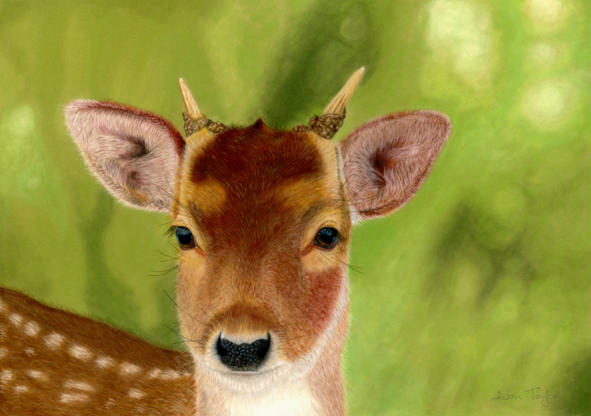 """Ivan"" the yearling Roe buck pastel painting by Alan Taylor Art"