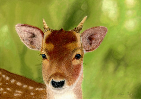 """Ivan"" - the yearling Roe buck. Giclée fine art print edition."