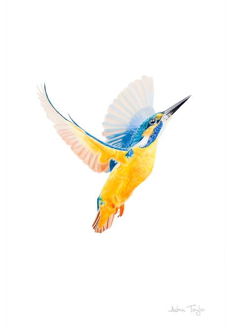 """Flight of the Kingfisher"" Giclée fine art print edition."