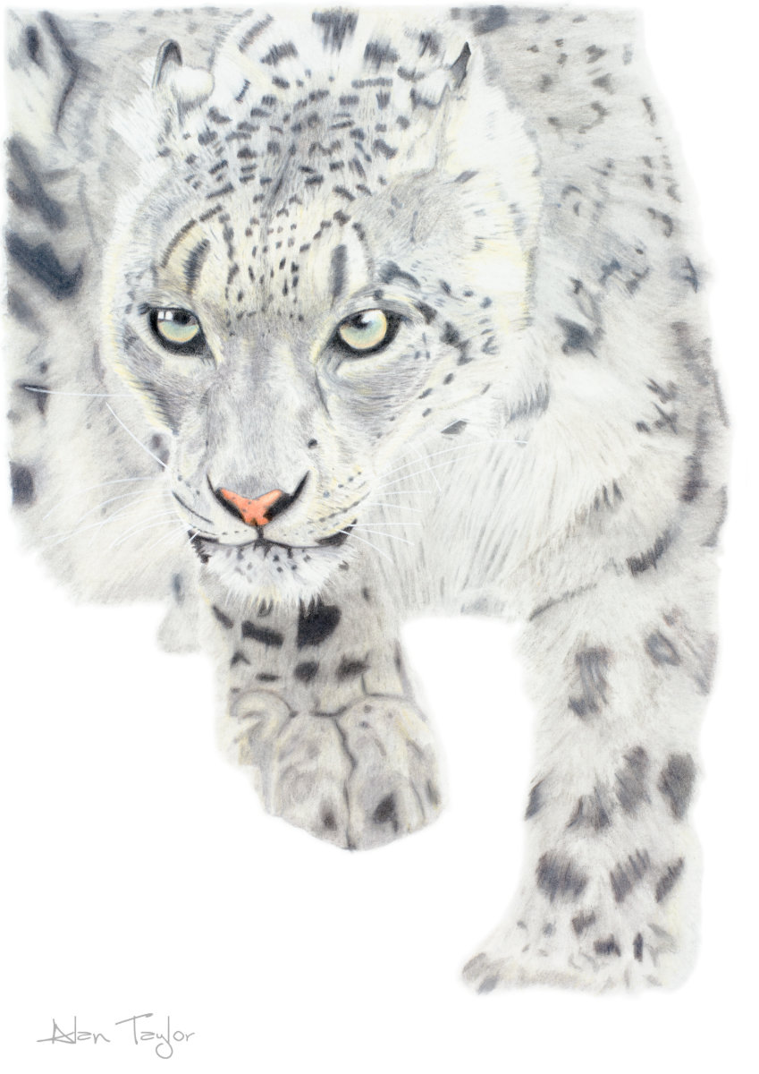 """The Huntress"" - Snow Leopard colour pencil drawing by Alan Taylor Art"