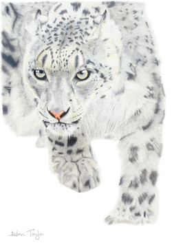 """""""The Huntress"""" - Snow Leopard colour pencil drawing by Alan Taylor Art"""