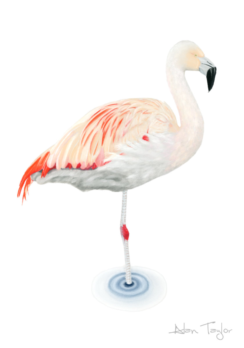 """Lola""  Flamingo pastel painting by Alan Taylor Art"