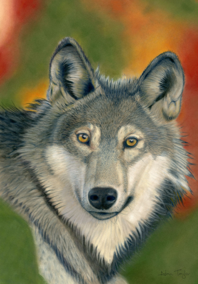"""Canis Lupus"" - Grey Wolf pastel painting by Alan Taylor Art"