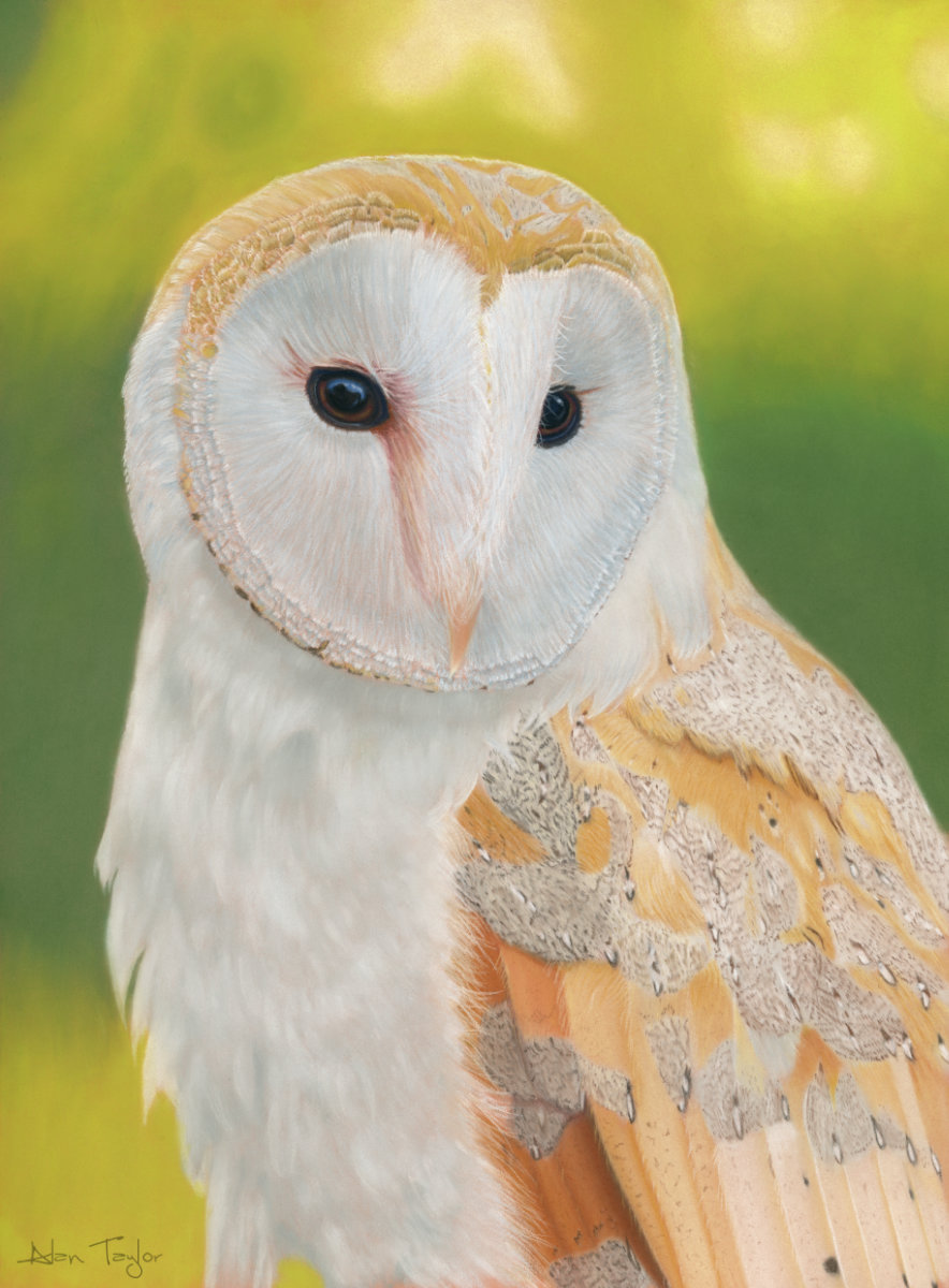 """Athena"" Barn Owl pastel painting by Alan Taylor Art"