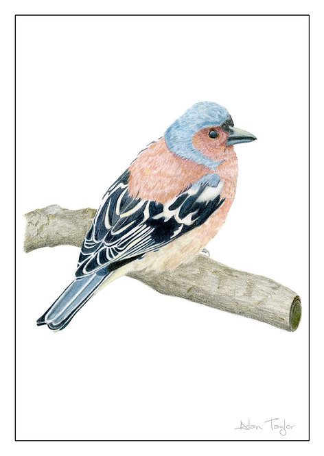 Chaffinch. 5 Greeting Cards A6 when folded, with envelopes.
