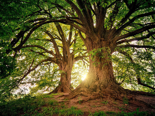 Adoptuj mělnický strom - 2021