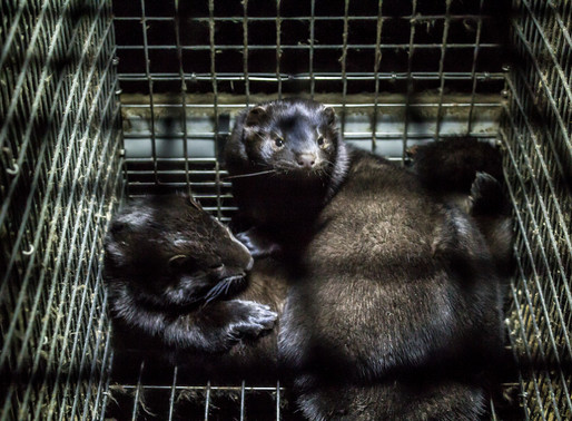 Animal charity calls for the end of fur farming in the United States following COVID-19 outbreaks