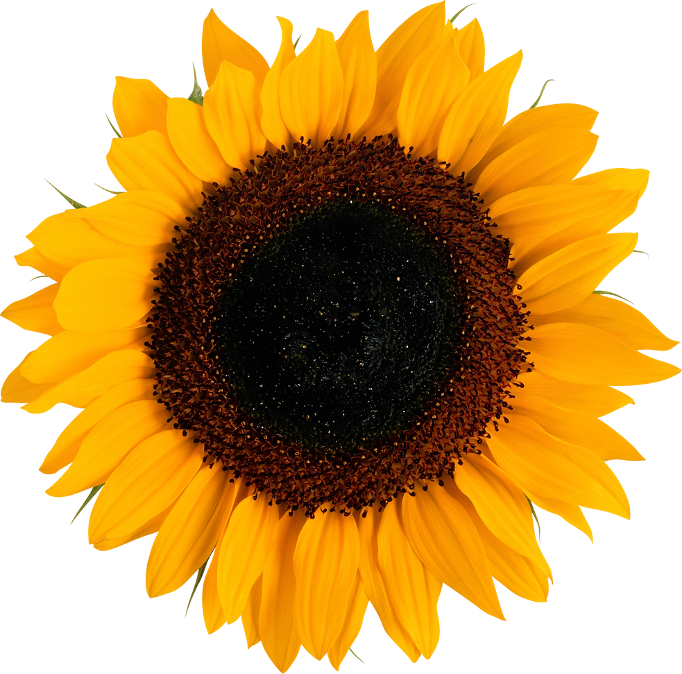 sunflower_PNG13395.png