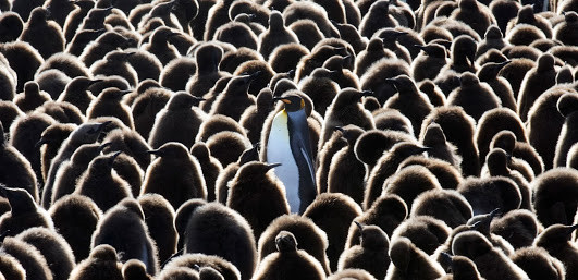 photo of penguins with one standing out