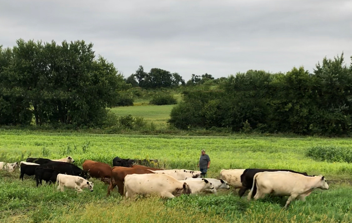 cows and monte.jpg