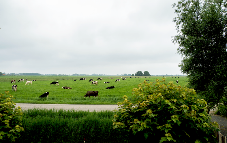 koeien.png