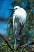 Egret1.jpg