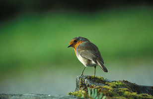 Robin5.jpg