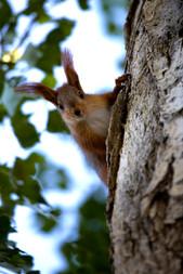 RedSquirrel2.jpg