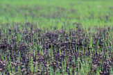 green-shoots.jpg