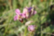 Wild orchids 2.JPG