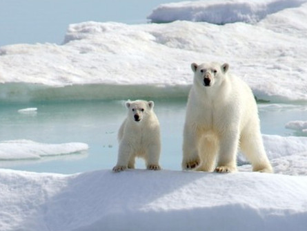 Polar Bears: Behemoths of the North