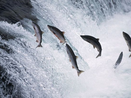 The Spectacular Salmon Run