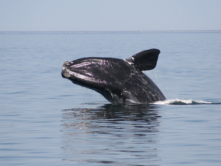 North Atlantic Right Whale, - Rare and Gentle Giants