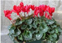 cyclamen grosse fleurs pot 14