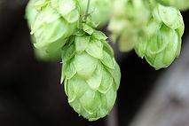 hops-504840_640.jpg