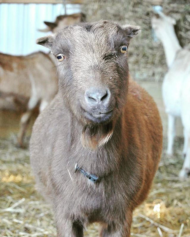 Cute goat contest entry - young Cocoa of