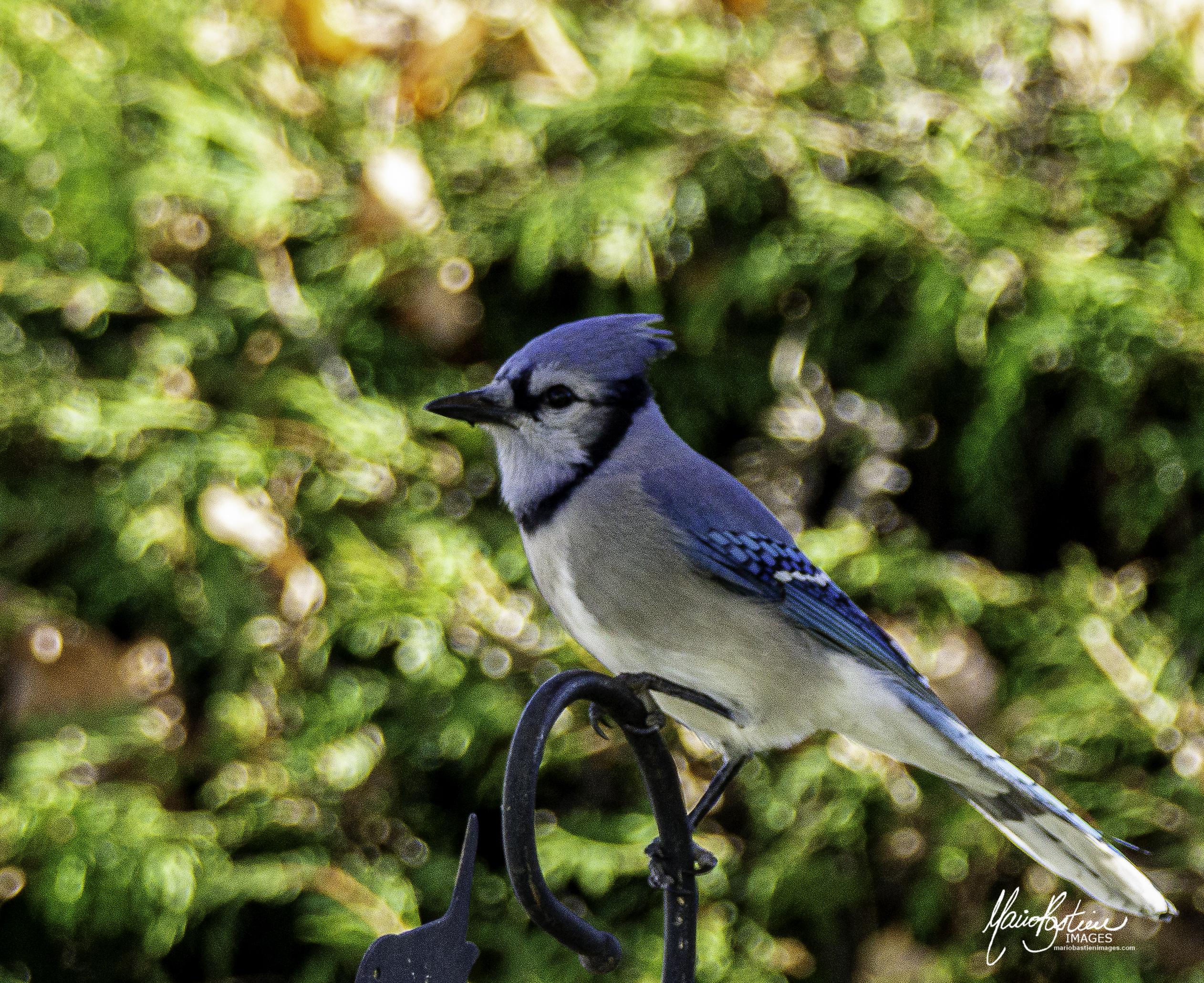 Blue Jay de Québec