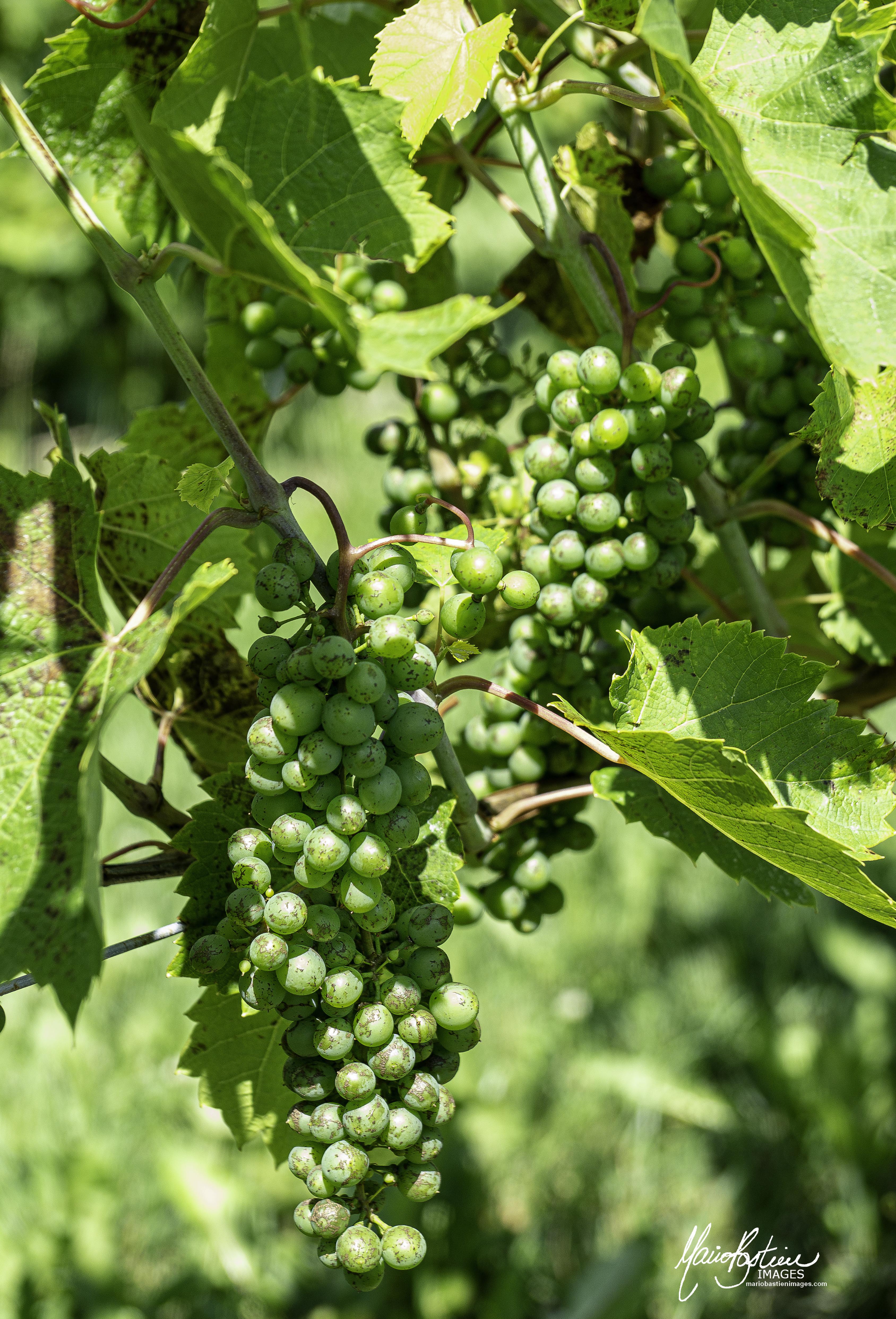 Vignes & Vignoble