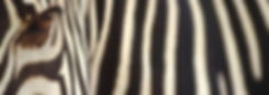 zebra03_165[1].jpg