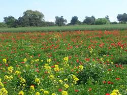 Winter flowers in the Gallilee