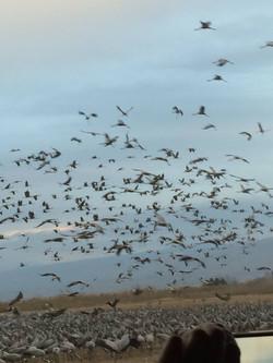 agamon birds