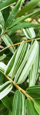 Silverstripe Hedge