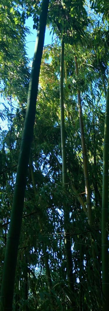 Elegant Bamboo
