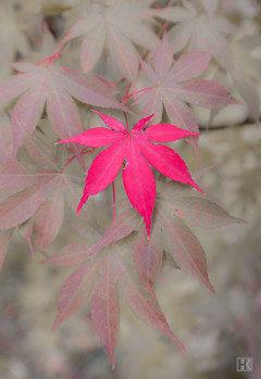 Maple Leaf (Acer Palmatum Osakazuki)