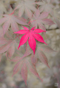 Maple Leaf (Acer Palmatum Osakazuki)