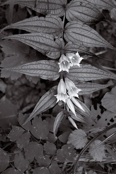 Gentiana Asclepiadea (Schwalbenwurz-Enzian)