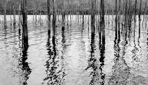 Tree Trunks in Reservoir