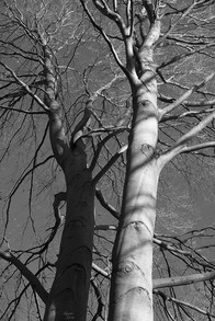 Two Beeches