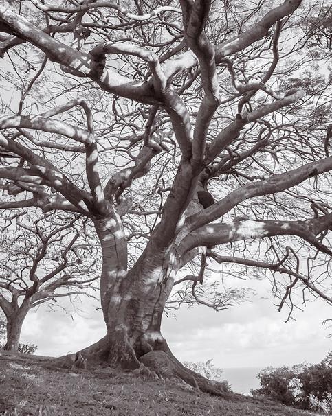 Tree near Fort King George, Scarborough, Tobago