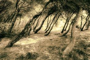 Coastal Pines, Apulia