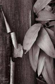 Bark and Wild Garlic