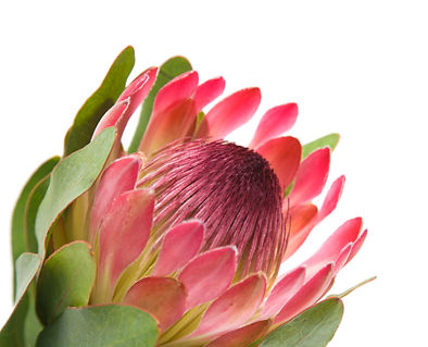 pink protea (sugarbush) flower; isolated on white background.jpg