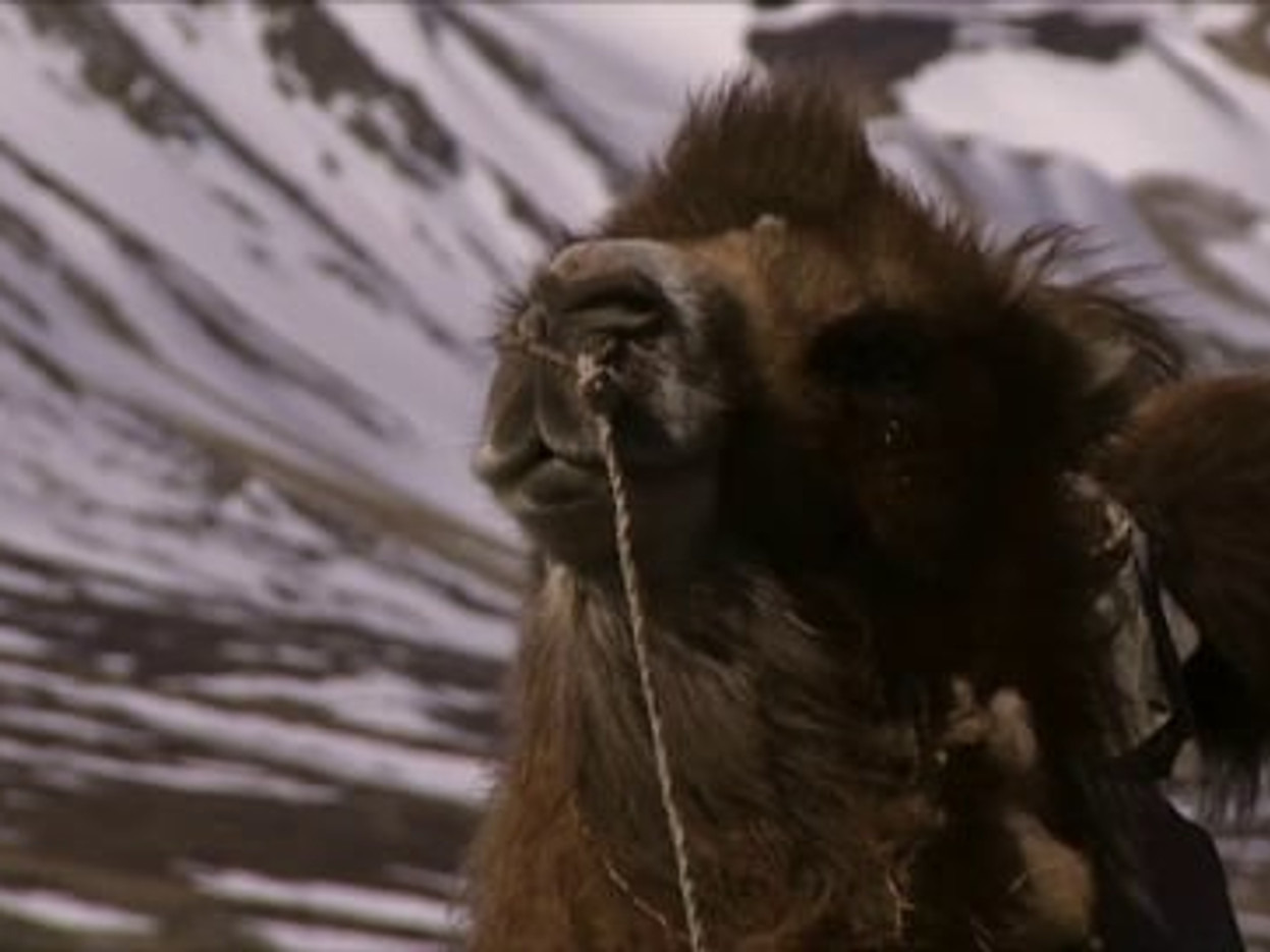 Camels are Never Cold