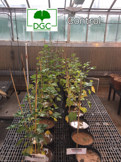 Cotton (greenhouse)