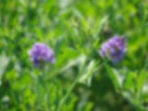 alfalfa.jpeg