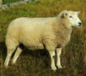 Texel ewe named yellow sheep