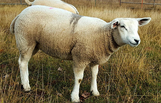 Peach sheep