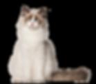 Pet Japi Cat - VB - 29.04.2019.png